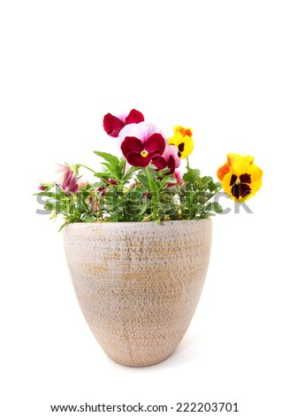 Pansy flowers in a pot isolated on white background  - stock photo