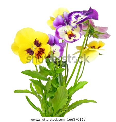 Pansy flowers isolated on white background - stock photo