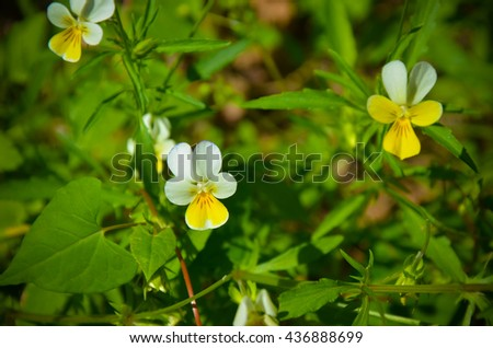 Pansy flowers Viola tricolor in the garden - stock photo