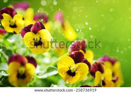 Pansy flowers with water droplet - stock photo