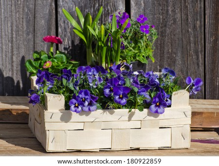 Pansy in a wooden box