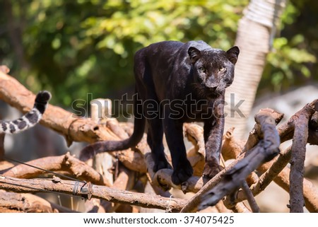 Panther black on trees. - stock photo