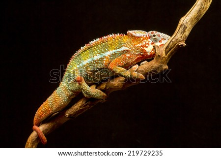 Panther Chameleon (Furcifer pardalis) native to Madagascar on a branch - stock photo