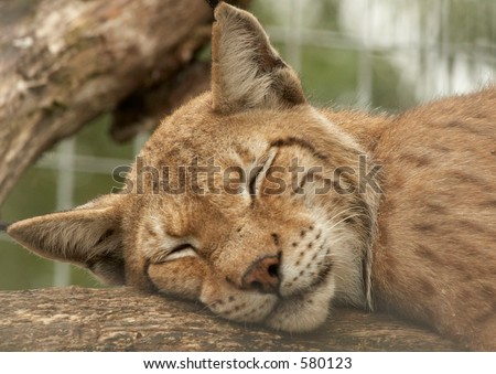 Panther sleeping on a branch - stock photo