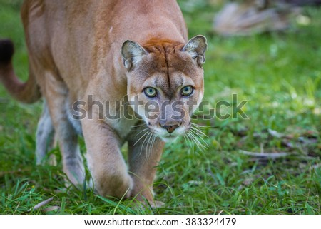 Panther stalks prey through forest floor - stock photo