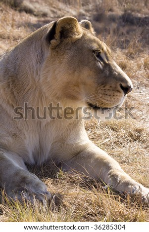 Panthera Leo. A lioness spies her next meal ... - stock photo