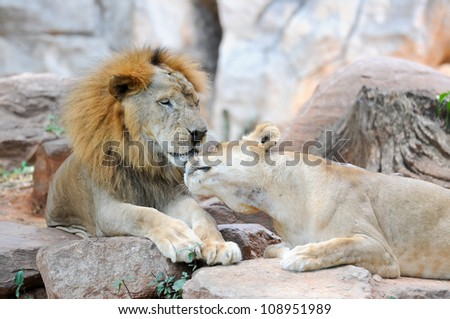 Panthera leo ,Male and Female Lion in Zoo.