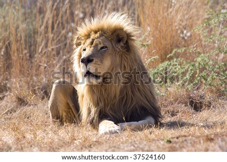 Panthera Leo. The King of the wild rests in the African sun.