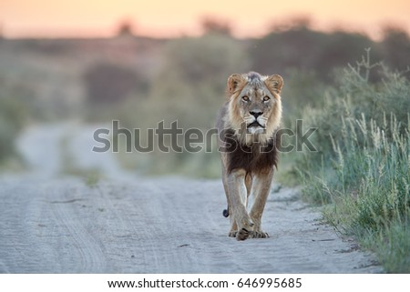 Panthera leo vernayi,  Kalahari lion, black mane lion in typical environment of Kalahari desert, walking on the sandy road toward at camera. Lion on the road in desert landscape. Kgalagadi , Botswana