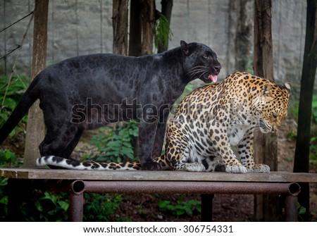 Panthera pardus and black panther  - stock photo
