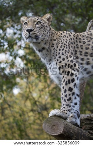 Panthera pardus saxicolor, Persian Leopard,watching nearby  - stock photo
