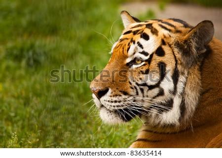 Panthera tigris altaica male face closeup - stock photo