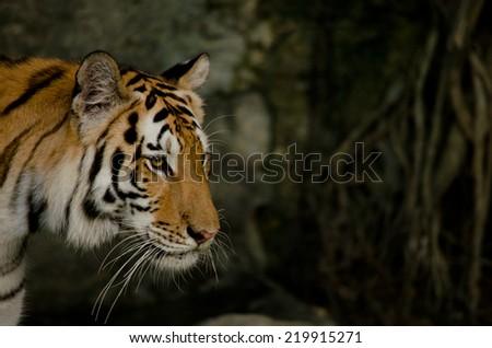 panthera tigris corbetti - stock photo