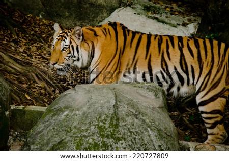 panthera tigris corbetti in thailand - stock photo