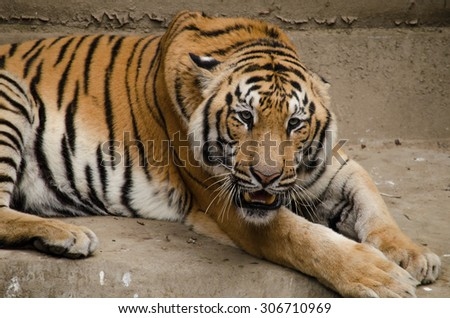 panthera tigris corbetti is playing with friend and it is same cat