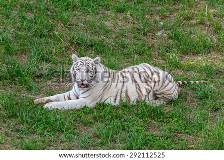 Panthera tigris. White Bengal tiger, lying in the grass. - stock photo