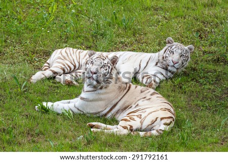 Panthera tigris. White Bengal Tigers, lying in the grass. - stock photo