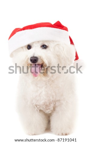 panting bichon frise in a santa claus hat standing onwhite background - stock photo