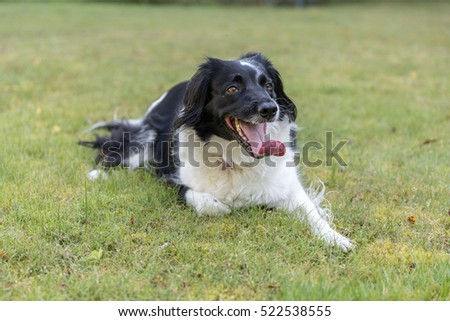 Panting black and white mongrel dog laid on the grass waiting to play some more