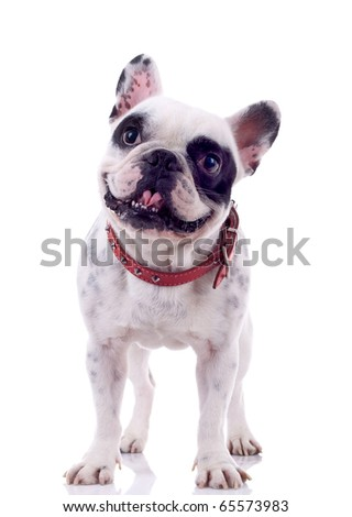 panting french bulldog looking curious , standing on a white background - stock photo