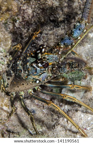Panulirus argus, the Caribbean spiny lobster is a species of spiny lobster that lives on reefs and in mangrove swamps in the western Atlantic Ocean. - stock photo