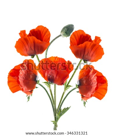 Papaver orientale (Oriental poppy) . isolated