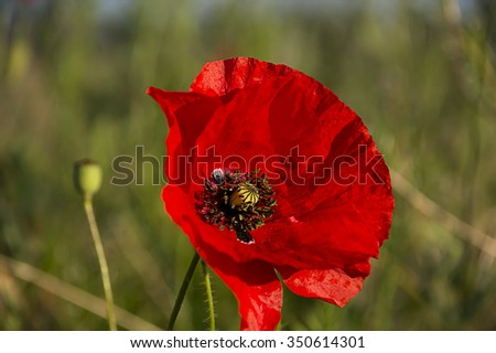 Papaver rhoeas common names include corn poppy , corn rose , field poppy , Flanders poppy , red poppy , red weed , coquelicot . - stock photo