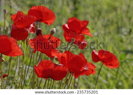Papaver rhoeas, Corn Poppy, Corn Rose, Field Poppy, Flanders Poppy, Red Poppy, Red Weed, Coquelicot - stock photo
