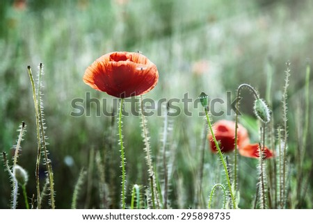 Papaver rhoeas (Corn poppy, Corn rose, Field poppy, Flanders poppy, Red poppy, Red weed, Coquelicot) in the summer meadow. Natural background. Flowers and sun rays.