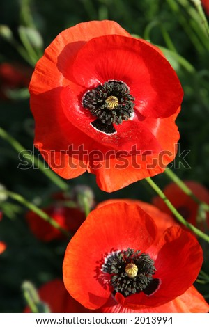 Papaver rhoeas. It is a variable annual plant, usually with vivid red flowers, surrounding a black center. In the northern hemisphere it generally flowers in June. It has a variety