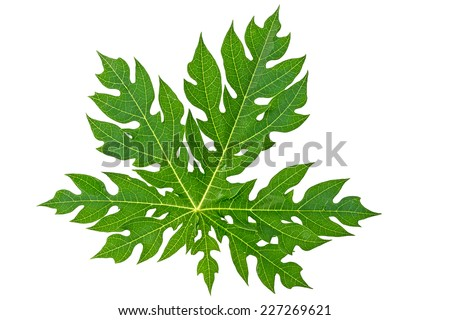 Papaya leaf isolated on white.