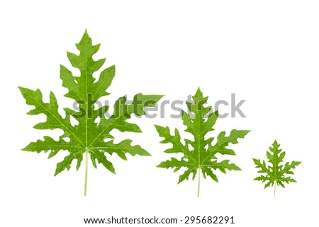 Papaya leaf on white background.