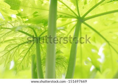 papaya tree and leaf  - stock photo
