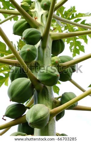 Papaya tree with bunch of fruits - stock photo