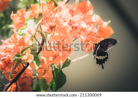 Paper flowers or Bougainvillea  and butterfly in the garden or nature park vintage - stock photo