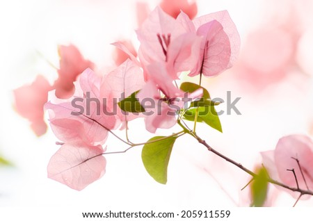 Paper flowers or Bougainvillea in the garden or nature park - stock photo