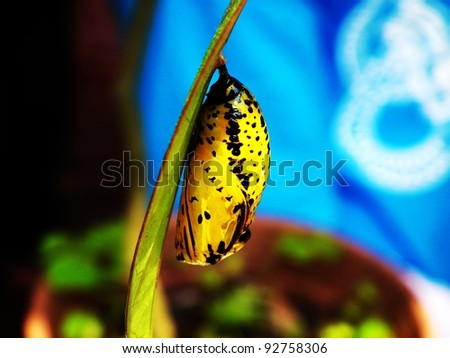 Paper kite Butterfly Pupa on leave - stock photo