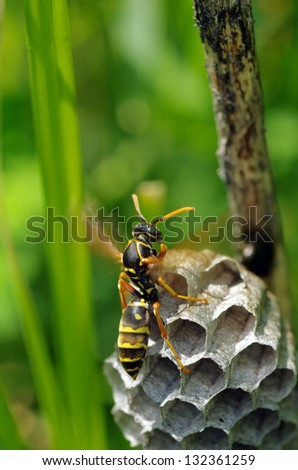 Paper wasp cools a comb by sending air. - stock photo