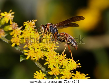 Paper Wasp On Goldenrod Flowers, Profile View, Polistes fuscatus