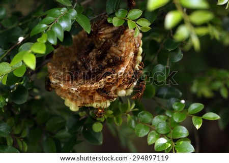 Paper wasps teamwork building their Honeycomb (Polistes rothneyi) - stock photo