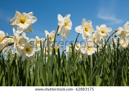 Paper white field full with trumpet daffodils in spring - stock photo