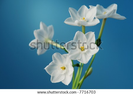 Paperwhite narcissus flower blooms - stock photo