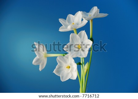 Paperwhite narcissus flower blooms over blue background - stock photo