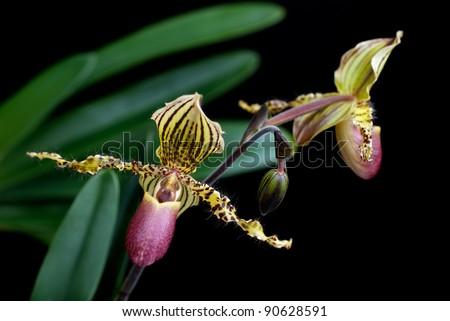 Paphiopedilum orchid (Paph hybrid). Selective focus, black background - stock photo
