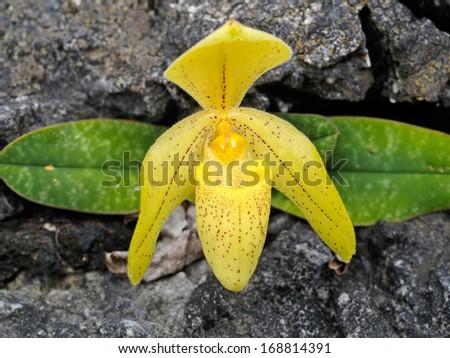 Paphiopedilum orcid - stock photo