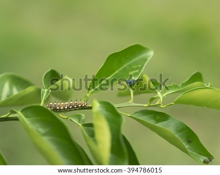 Papilio anactus caterpillar, lava stage of Dainty Swallowtail butterfly on orange citrus leaves with green natural background - stock photo