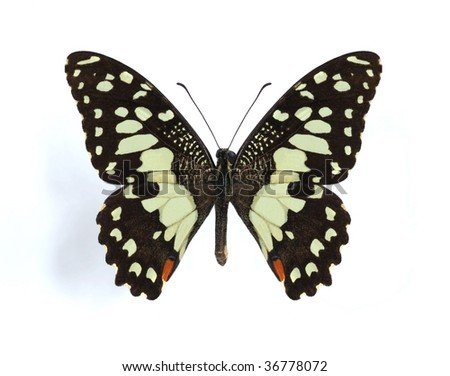 Papilio demodocus (Citrus butterfly, Orange Dog, Christmas Butterfly) - stock photo