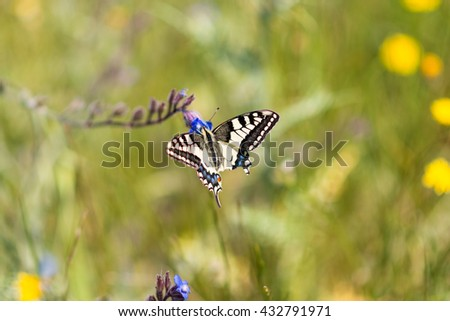 Papilio machaon, known as yellow swallowtail or old world swallowtail, sitting on a flower on a meadow in the mountains of Crete. The butterfly is fluttering to each blue flower on the pasture - stock photo