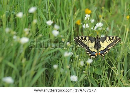 Papilio machaon,Old World Swallowtail  - stock photo