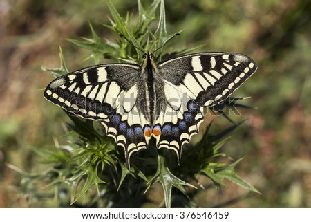 Papilio machaon, Swallowtail butterfly from Italy, Europe - stock photo